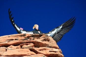 Califonia Condor #6