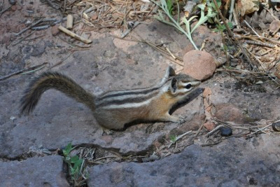 Chipmunk Animal in Zion National Park
